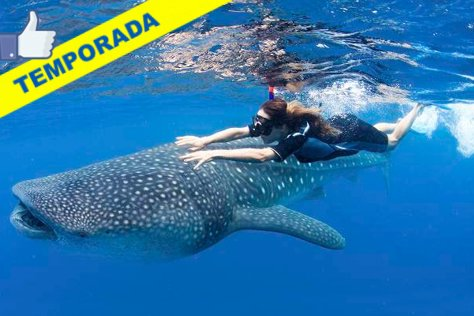 Swim with Whale Sharks from Playa del Carmen
